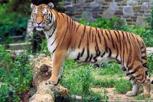 800px-Panthera_tigris_tigris